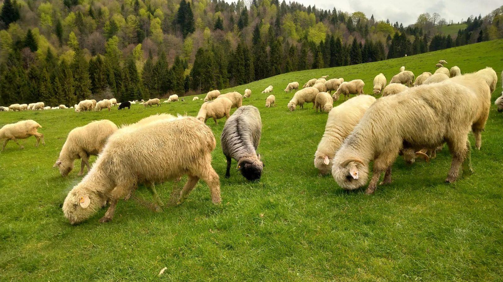 Owce na łące – fotografia wykonana Xperią 10